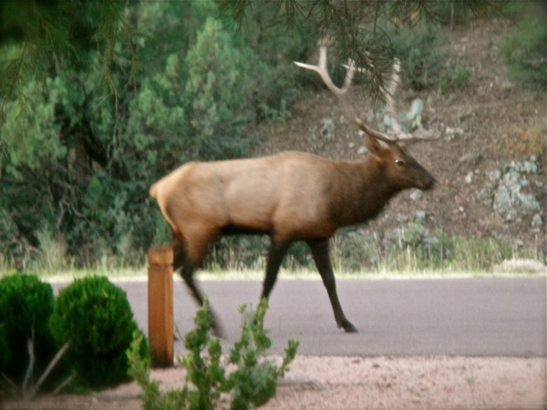 real elk!