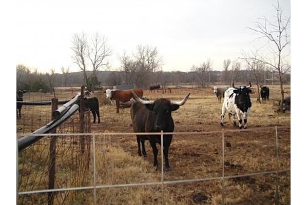 Cow Kisses 9