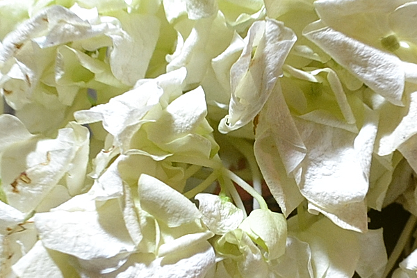 Drying Hydrangea close up