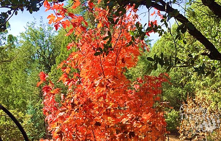 autumn maple tree | countrydesignstyle.com